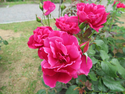 20110625・敷島公園ばら園のバラ41-2