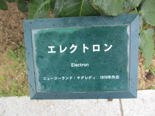 20110625・敷島公園ばら園のバラ42-1