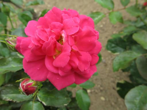 20110625・敷島公園ばら園のバラ43-2