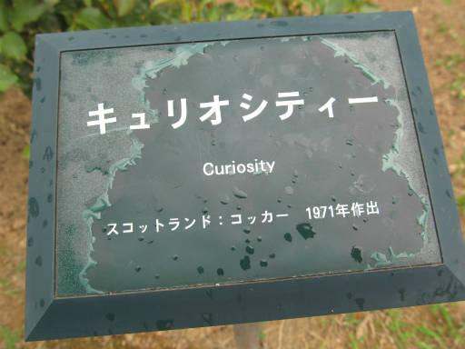 20110625・敷島公園ばら園のバラ43-1