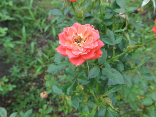 20110625・敷島公園ばら園のバラ50-2