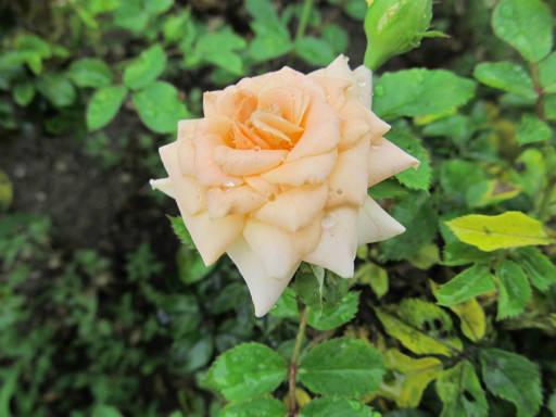 20110625・敷島公園ばら園のバラ54-2