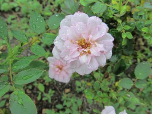 20110625・敷島公園ばら園のバラ52-2