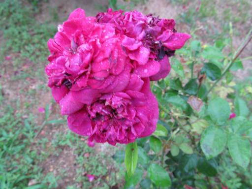 20110625・敷島公園ばら園のバラ57-2