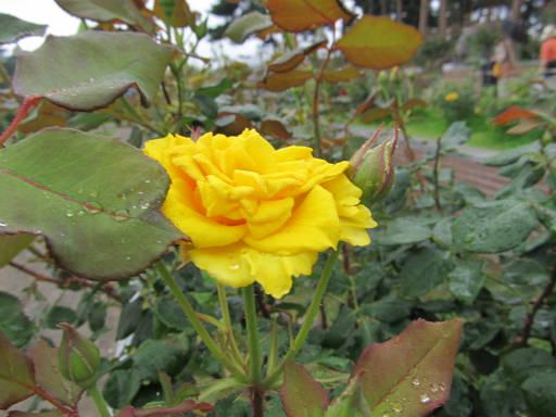 20110625・敷島公園ばら園のバラ63-2