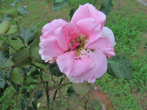 20110625・敷島公園ばら園のバラ67-2