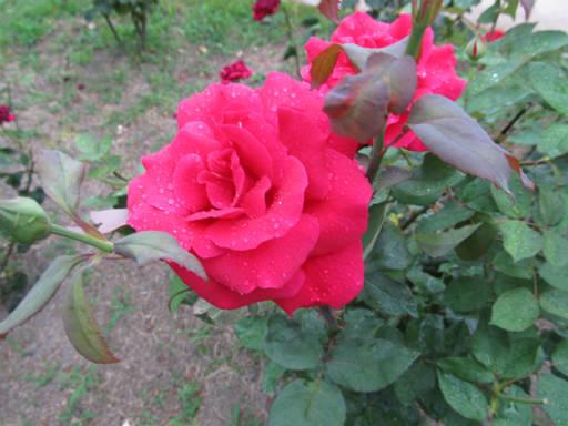 20110625・敷島公園ばら園のバラ70-2