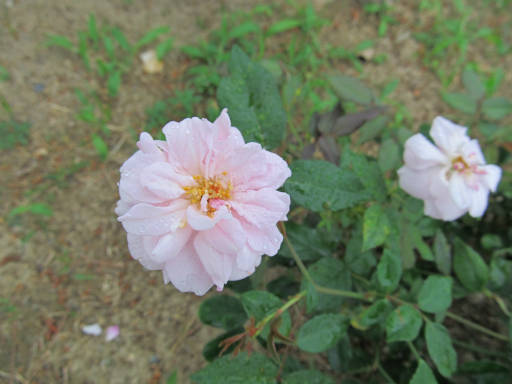 20110625・敷島公園ばら園のバラ71-2