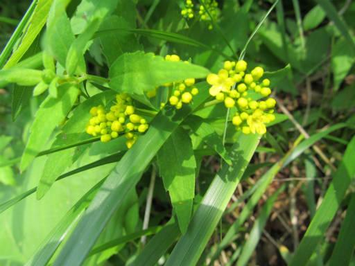 20110717・野反湖32・ハクサンオミナエシ