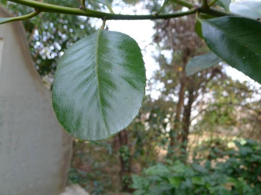 20120115・自然観察会31-1・タラヨウ