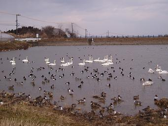 とむそうや周辺、田尻池の白鳥