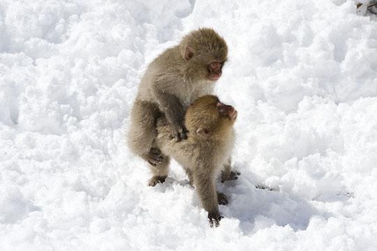 Monkey, Jigokudani_DSC7047
