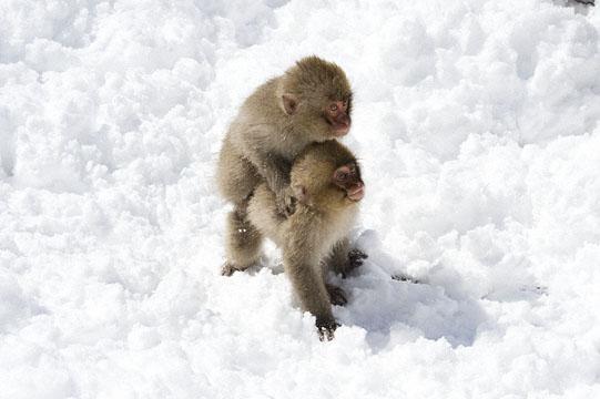 Monkey, Jigokudani_DSC7046